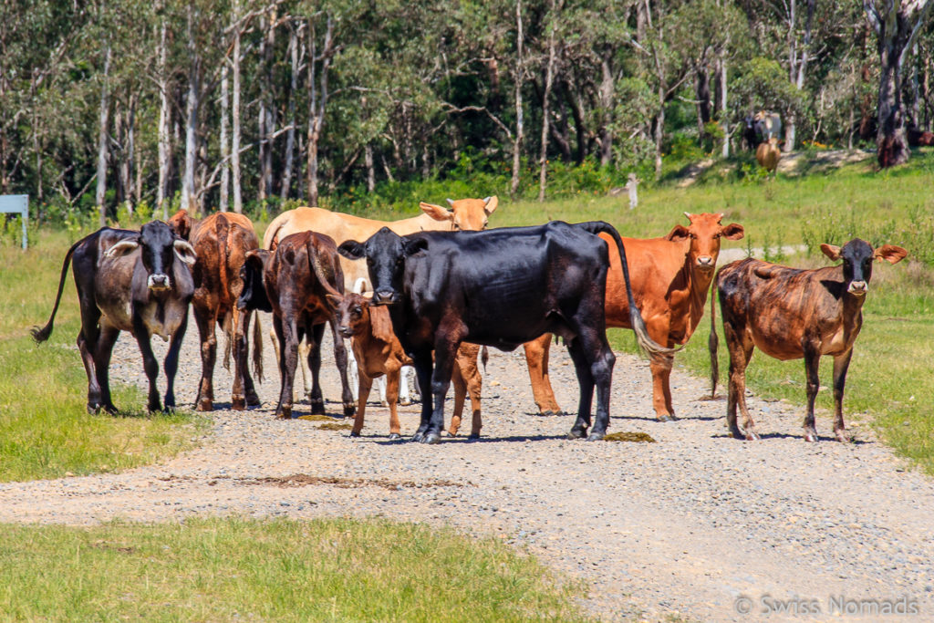 Kuhherde auf der Old Glen Innes Road