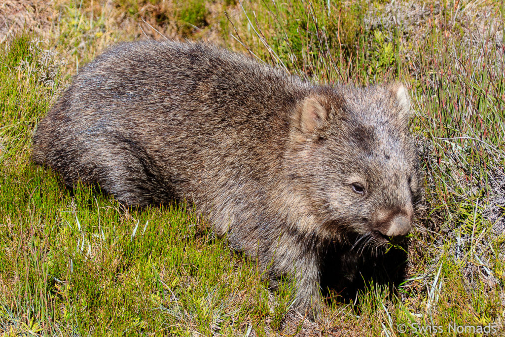 Wombat bei Ronny Creek im Cradle Mountain Nationalpark