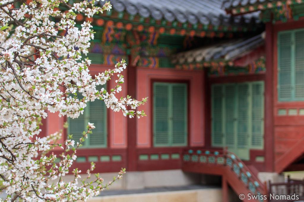 Kirschblüte in Seoul Gyeongbokgung Palce