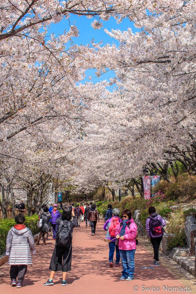 Kirschblüte in Seoul Seokchon Park