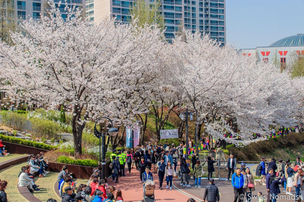 Kirschblüte in Seoul Seokchon Park in Korea