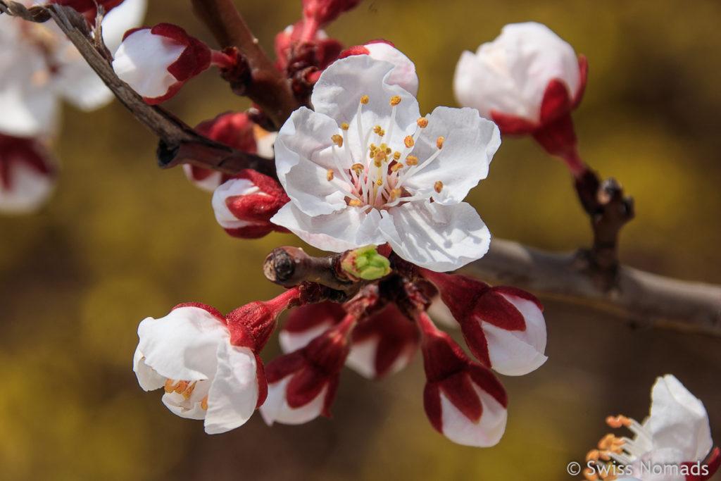 Weisse Kirschblüte in Seoul
