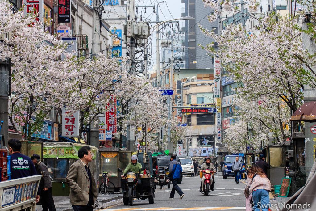 Kirschblüte mitten in Seoul