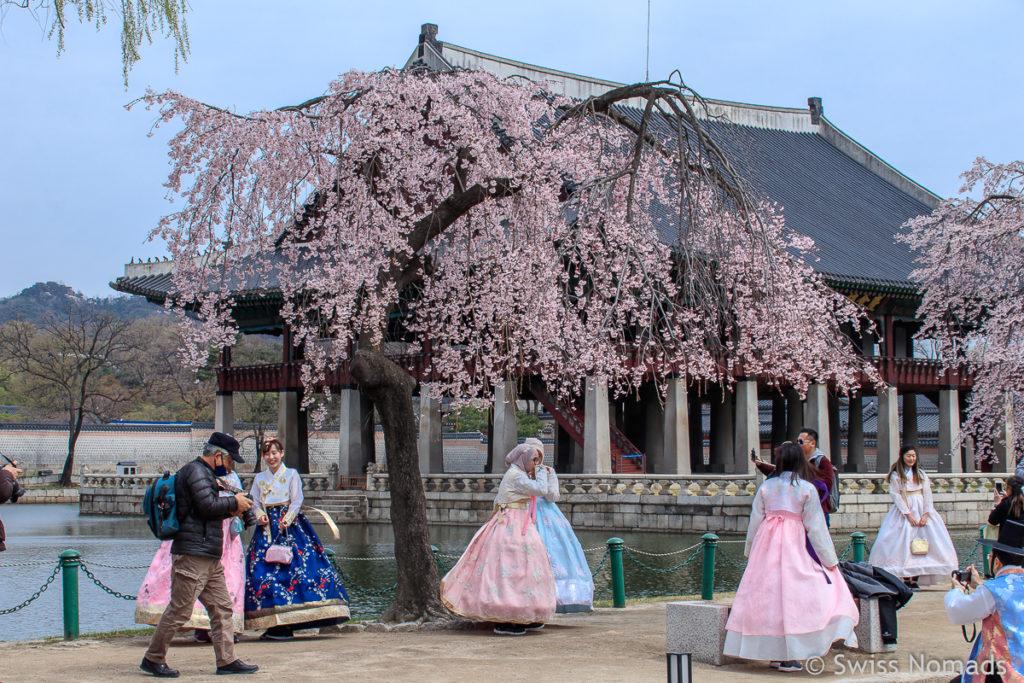 Kirschblüte in Seoul im Gyeongbokgung Palce