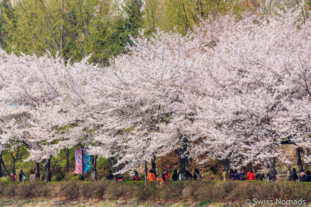 Der Seokchon Park während der Kirschblüte in Seoul