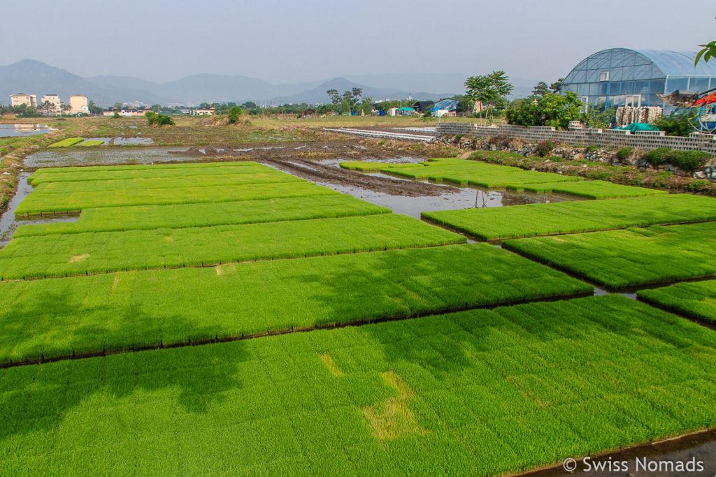 Reissetzlinge in einem Reisfeld in Gyeongju