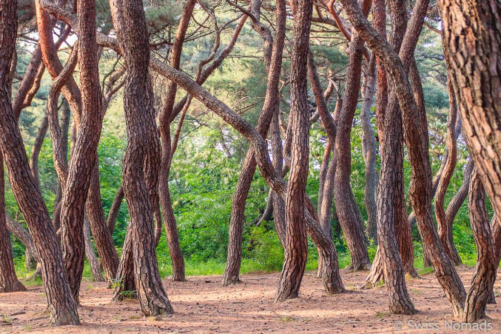 Wunderschöner Wald im Gyeonju Nationalpark