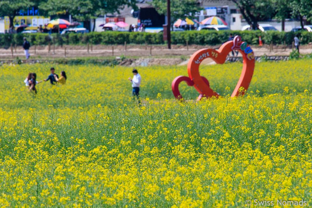 Ein Rapsfeld in Gyeongju lockt Besucher an