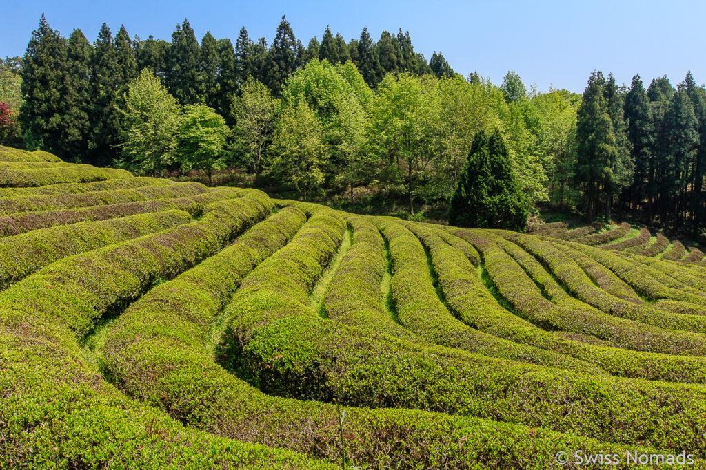 Daehan Dawon Teeplantage in Boseong Südkorea