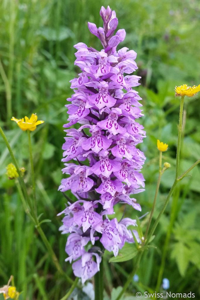 Alpenblumen entlang der Wanderung auf den Chäserrugg