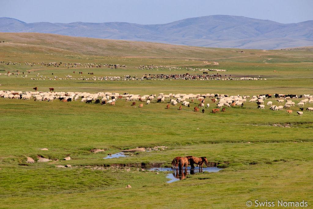 Unsere ersten Eindrücke aus der Mongolei Tierherden