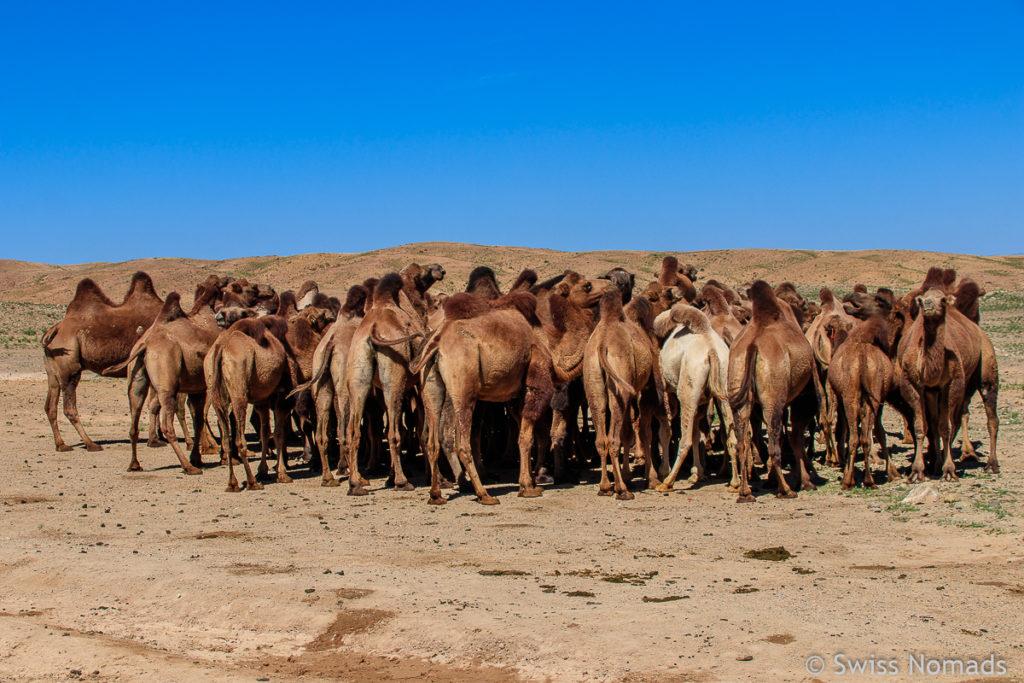 Kamele in der Gobi Wüste in der Mongolei