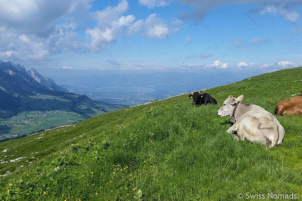Kuhweide auf der Wanderung zum Chäserrugg