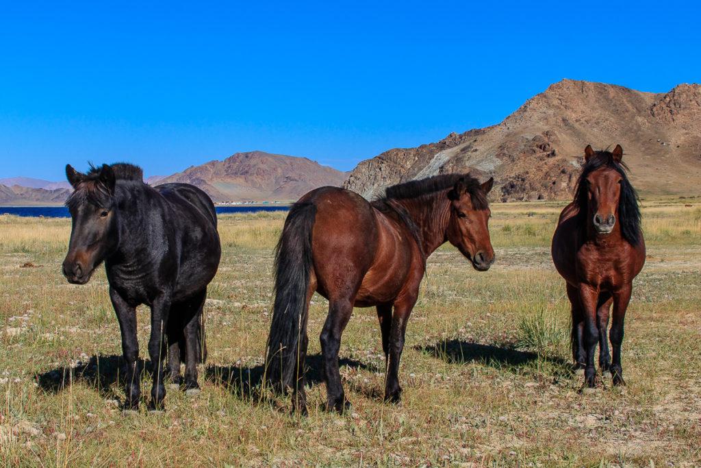 Pferde im Altai Gebirge in der Mongolei