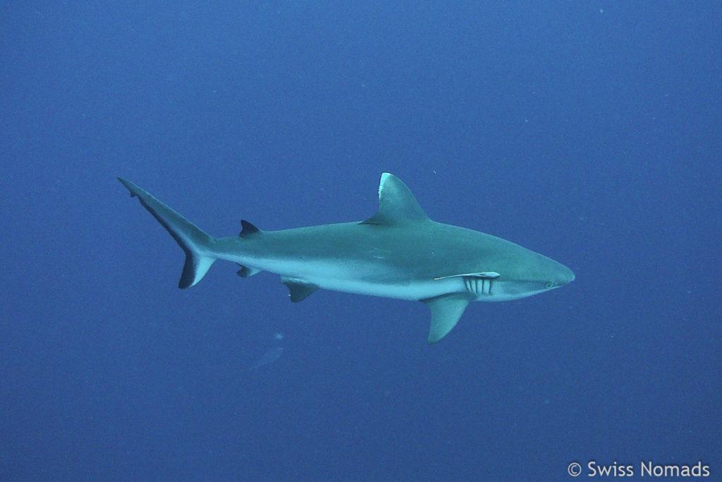 Malediven Reisetipps Tauchen mit Haien