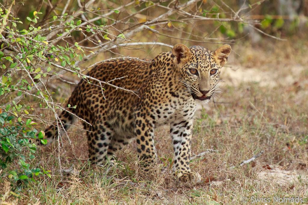 Sri Lanka Reisetipps Nationalparks Leopard
