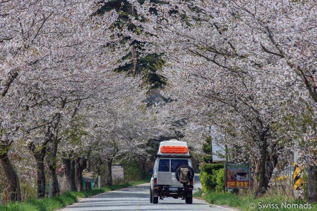 Jahresrückblick 2018 Kirschblüte in Südkorea