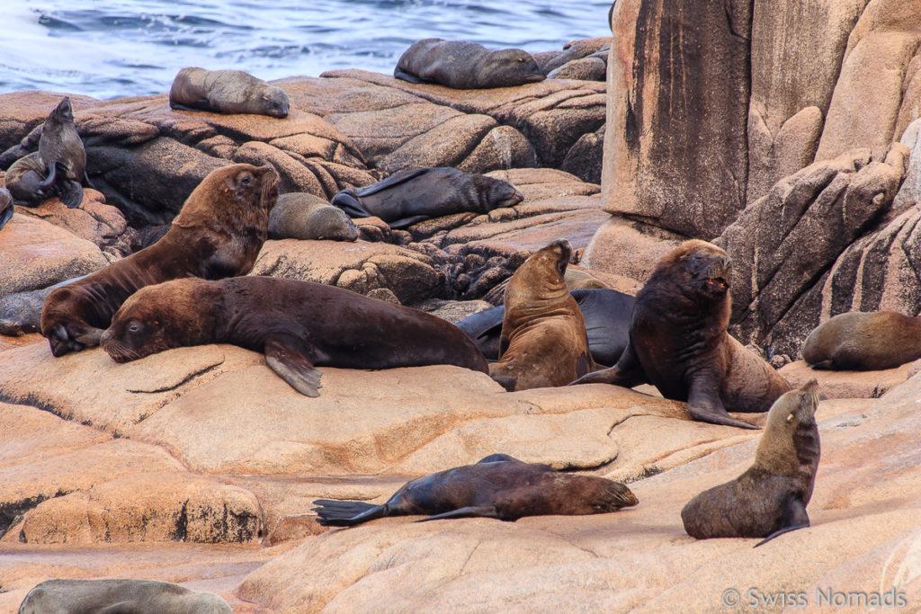 Seelöwen Kolonie Cabo Polonio