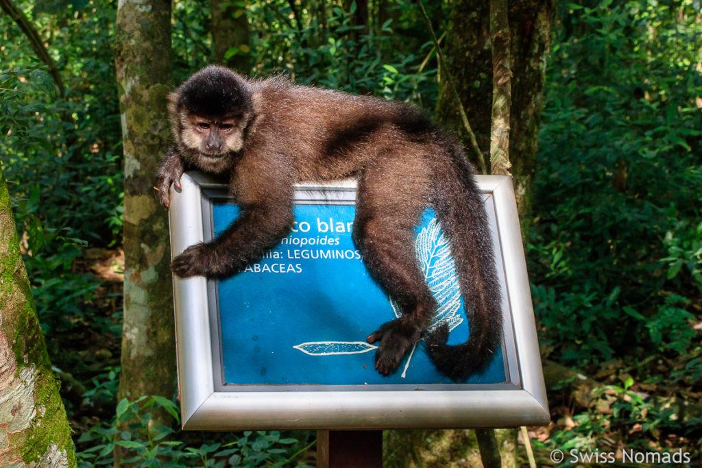 Affe Iguazu Nationalpark Argentinien