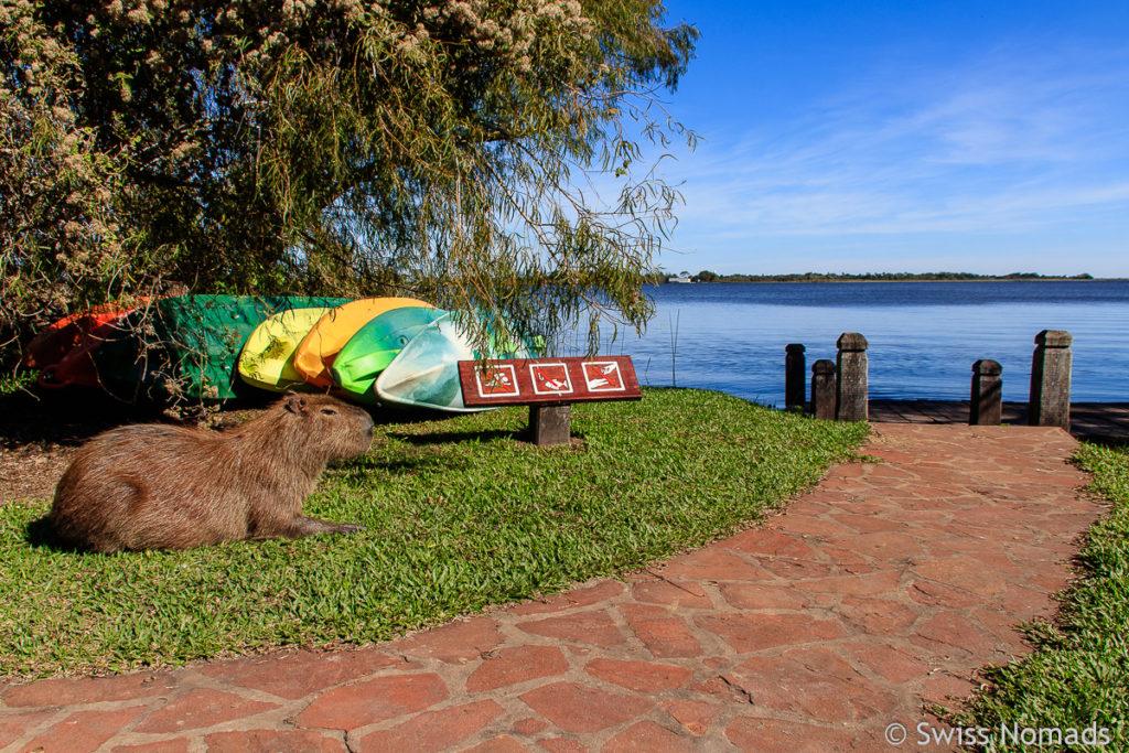 Camping Colonia Pellegrini Capybara