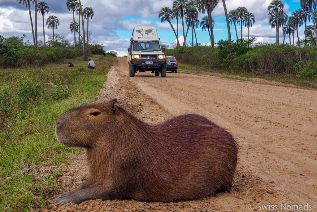 Capybara El Palmar Nationalpark Strasse