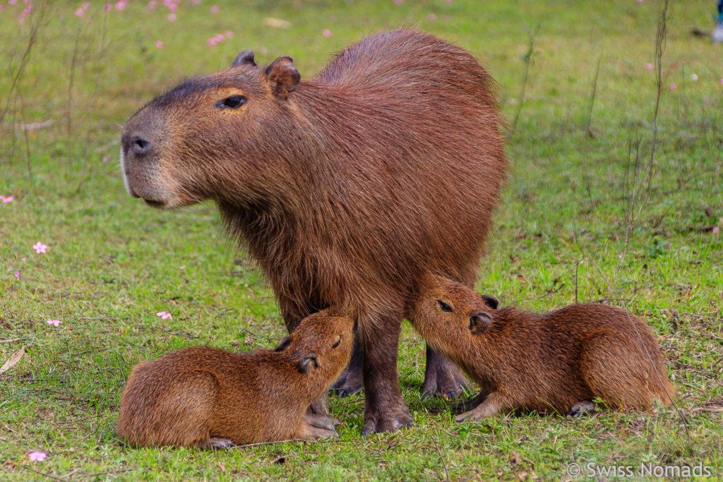 Capybara Familie El Palmar