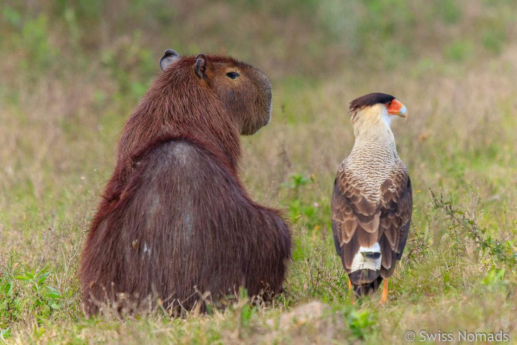 Capybara mit Schopfkarakara