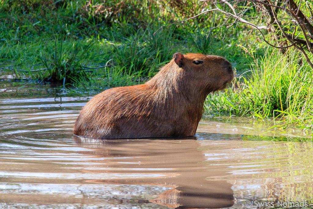 Capybara Wasserloch