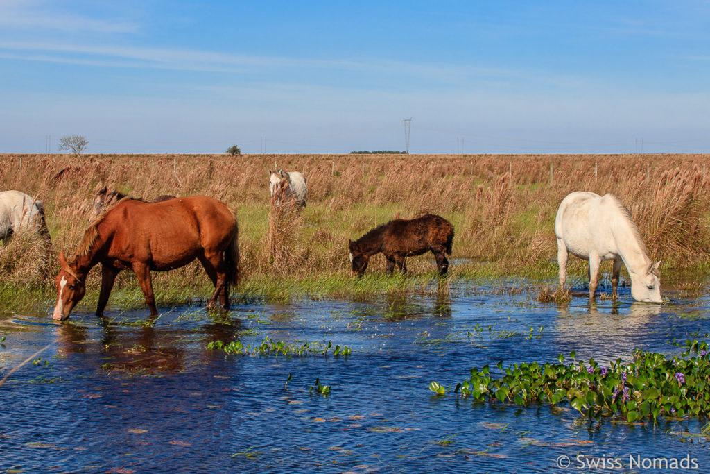 Pferde Ibera Sümpfe