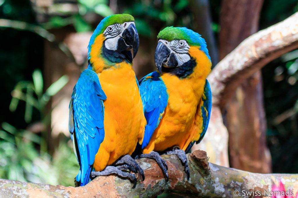 Papageien in Brasilien