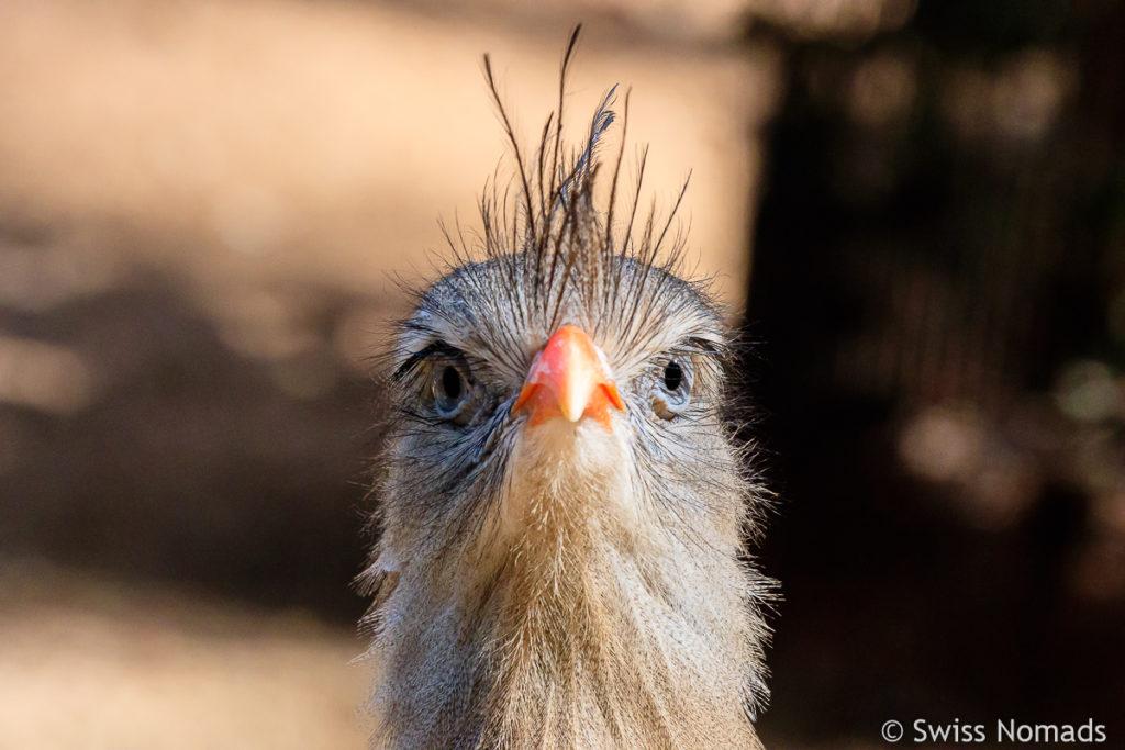 Sereimas Vogel Brasilien
