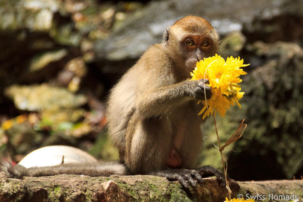 Affe bei den Batu Caves