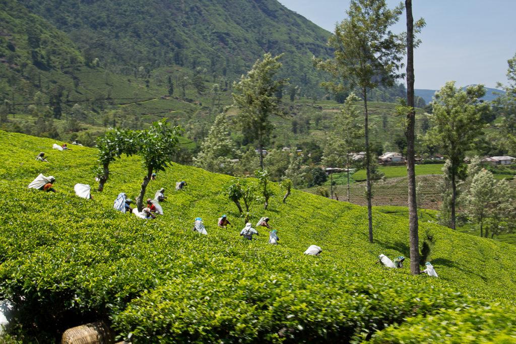 Tee Ernte auf dem Weg nach Nuwara Eliya