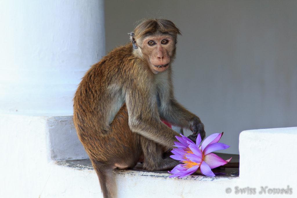 Affe beim Dambulla Felsen Tempel