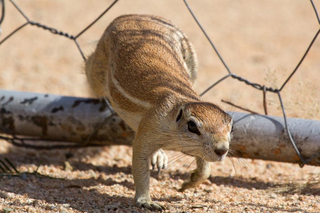 Erdhörnchen in Namibia