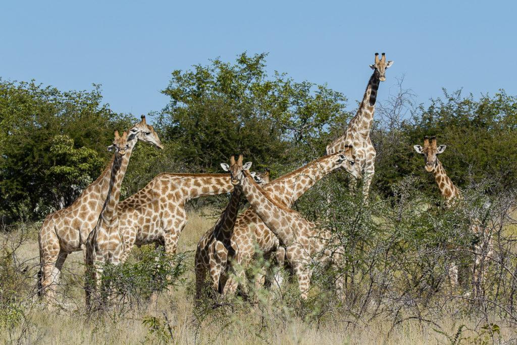 Giraffen Herde