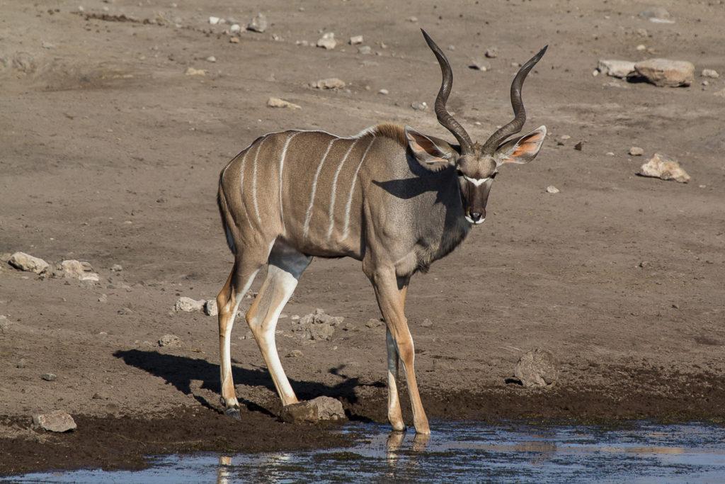 Kudu im Etosha Nationalpark