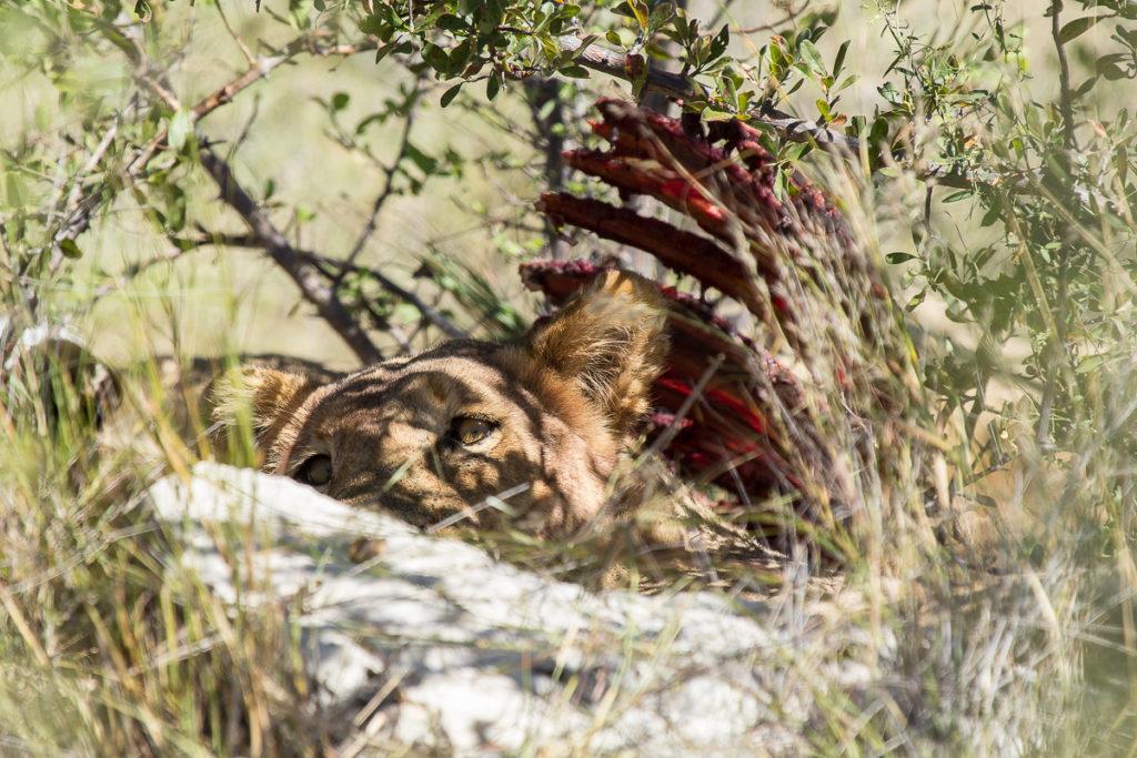 Löwe am fressen im Etosha Nationalpark