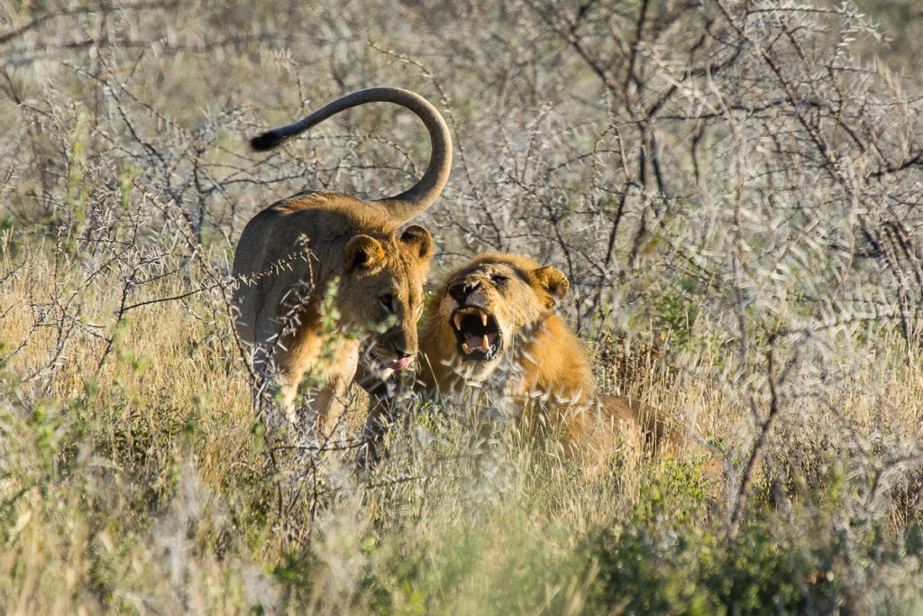 Löwen Paar im Etosha Nationalpark