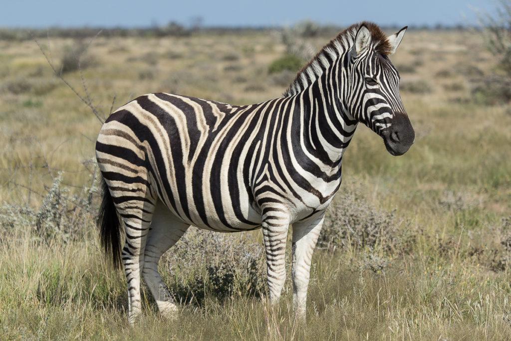 Zebra im Etosha Nationalpark