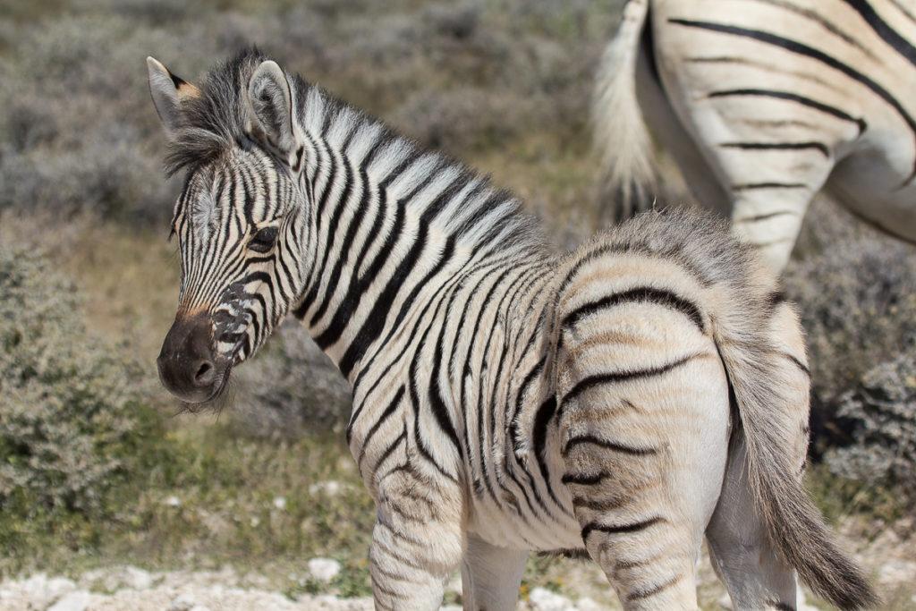 Zebra Jungtier