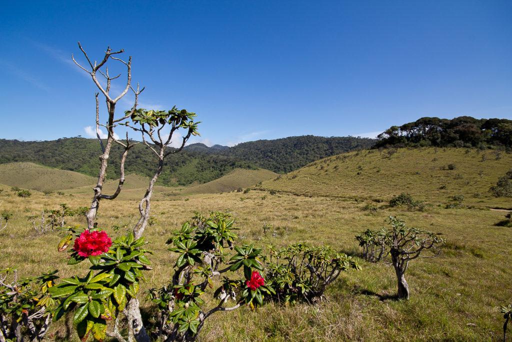 Rhododendron im Horton Plains Nationalpark