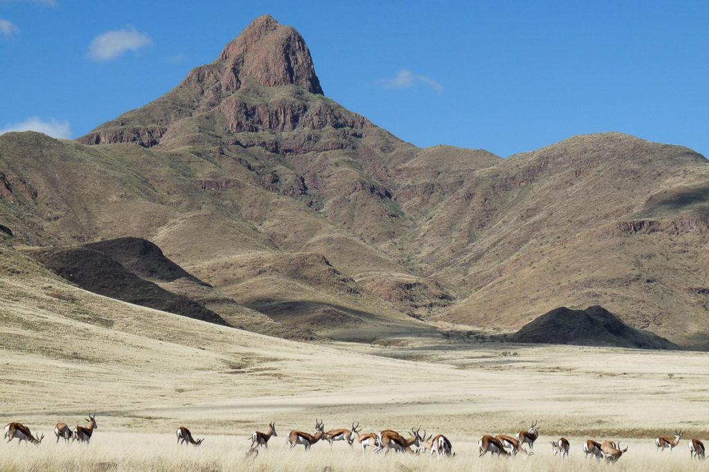 Springböcke in der Landschaft auf Namibia Raodtrip