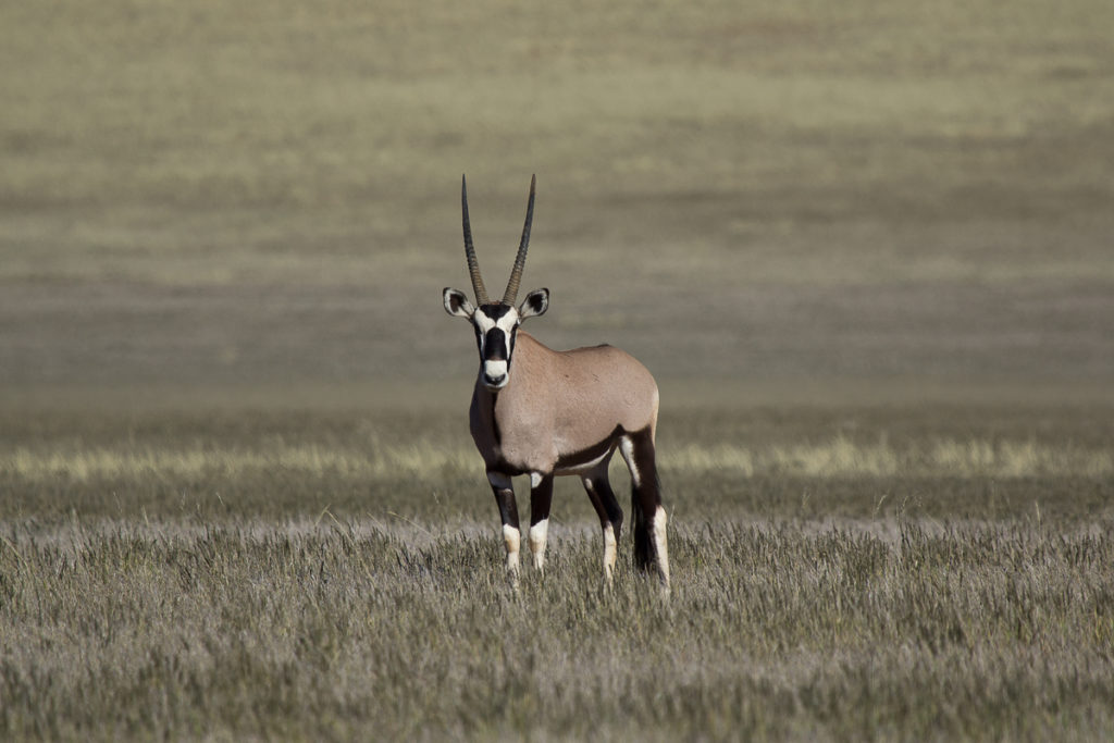 Oryx Antilope in Namibias Süden