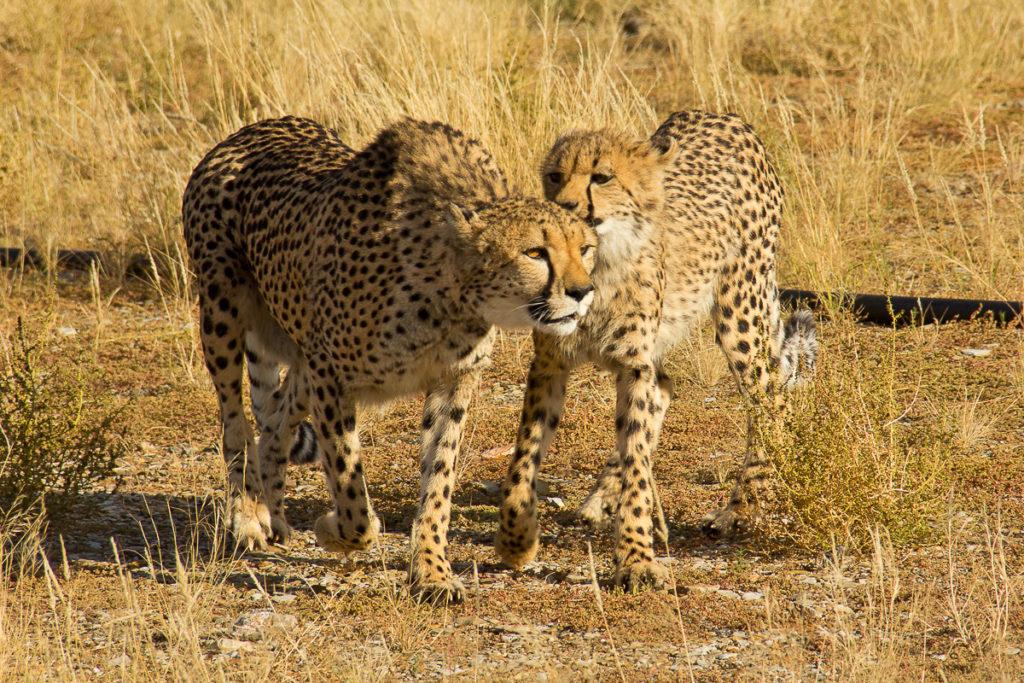 Geparde im Süden von Namibia