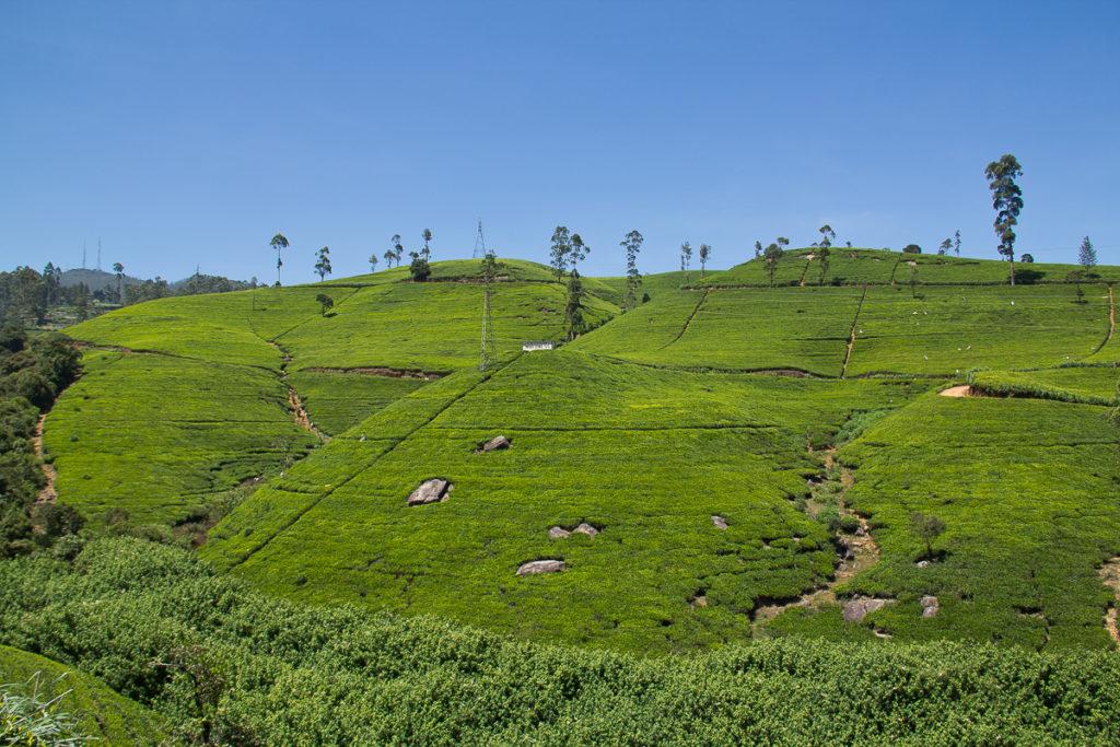 Teeplantage Mackwoods in Nuwara Eliya