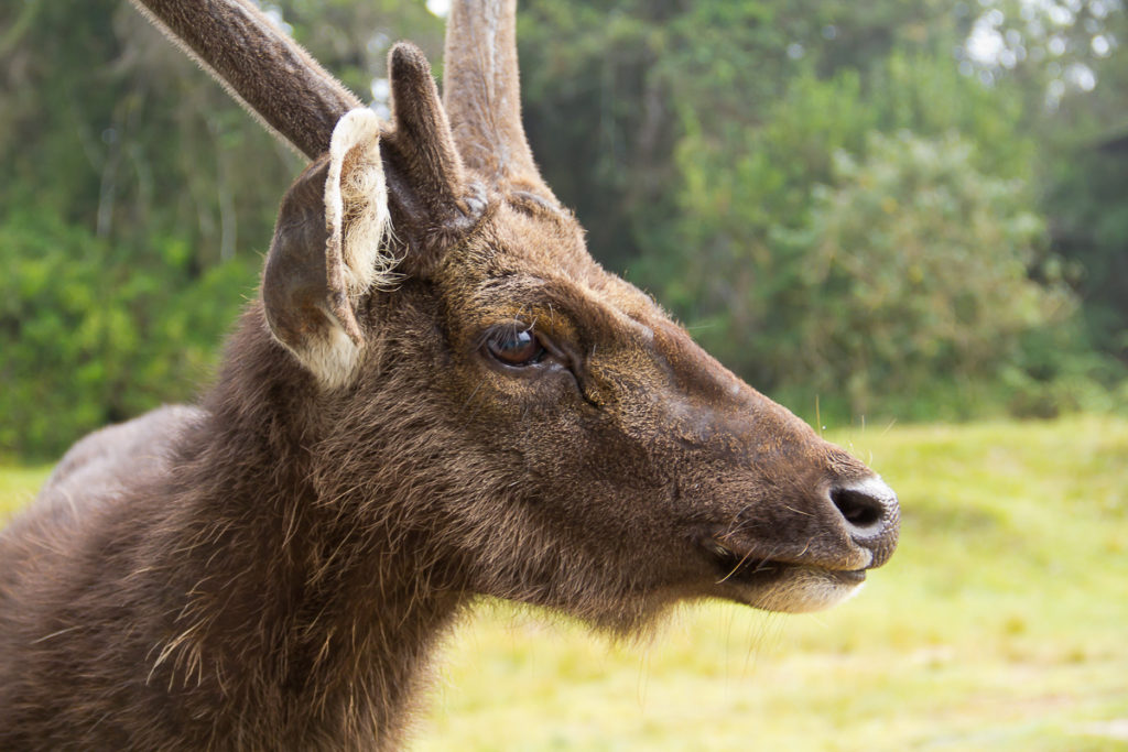 Sambar Hirsch im Nationalpark