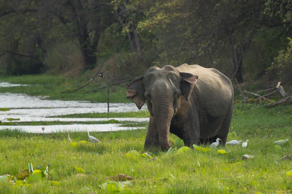 Elefant im Yala Nationalpark in Sri Lanka