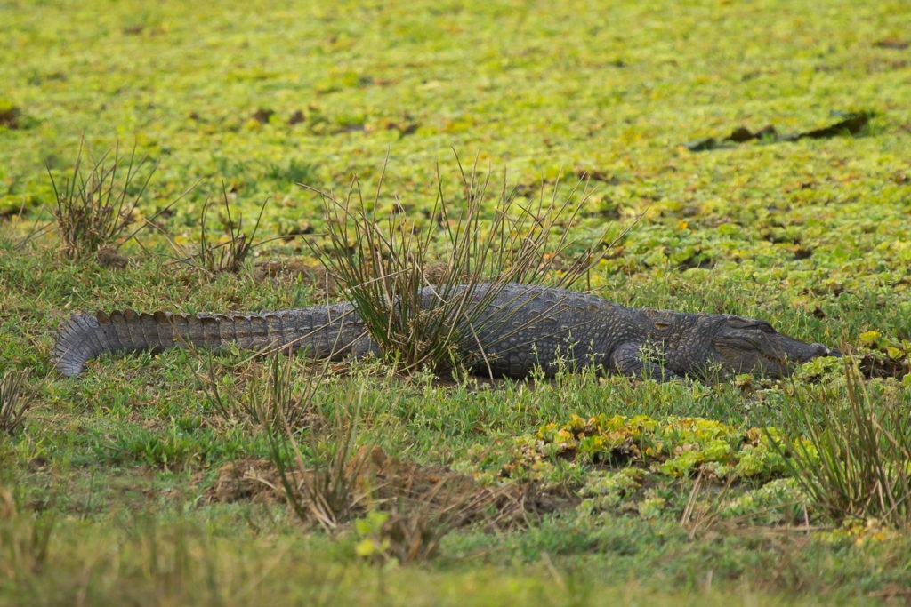 Krokodil im Yala Nationalpark in Sri Lanka