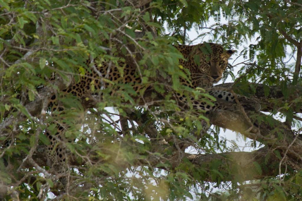 Leopard auf Baum im Yala Nationalpark in Sri Lanka Leopard Baum